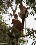 Male and female Proboscis Monkeys (Nasalis larvatus) in tree (Kalimantan, Borneo - Indonesian Borneo)