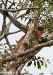 Domiant male Proboscis Monkey (Nasalis larvatus) in tree (Kalimantan, Borneo - Indonesian Borneo)