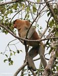Adult male Proboscis Monkey in tree (Kalimantan, Borneo - Indonesian Borneo) -- kali9058