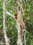 Adult Female Proboscis Monkey in tree (Kalimantan, Borneo - Indonesian Borneo)