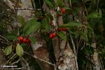 Red fruit on rainforest tree (Kalimantan, Borneo - Indonesian Borneo)