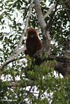 Red Leaf-monkey (Presbytis sp.) in Kalimantan (Kalimantan, Borneo - Indonesian Borneo)