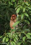 Female Proboscis Monkey (Nasalis larvatus) in tree (Kalimantan, Borneo - Indonesian Borneo)