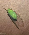 Bright green cicada (Kalimantan, Borneo - Indonesian Borneo)