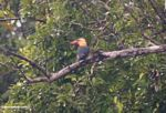 Stork-billed Kingfisher (Pelargopsis capensis) in Borneo (Kalimantan, Borneo - Indonesian Borneo)