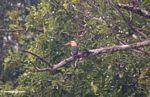 Stork-billed Kingfisher (Pelargopsis/Halcyon capensis) (Kalimantan, Borneo - Indonesian Borneo)