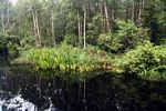 Blackwater river in Tanjung Puting National Park (Kalimantan, Borneo - Indonesian Borneo)
