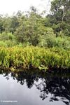 Water lilies and Pandanus palms along blackwater river leading to Camp Leaky (Kalimantan, Borneo - Indonesian Borneo)