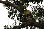 Wild staghorn fern in canopy tree (Kalimantan, Borneo - Indonesian Borneo)