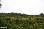 Riverside meadow near blackwater river in Borneo (Kalimantan, Borneo - Indonesian Borneo)