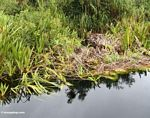 Water lilies and other vegetation along blackwater river (Kalimantan, Borneo - Indonesian Borneo)