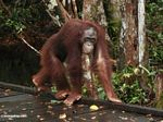 Borneo Orang-utan walking on boardwalk (Kalimantan, Borneo - Indonesian Borneo)