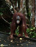 Borneo Orang-utan standing on boardwalk (Kalimantan, Borneo - Indonesian Borneo)
