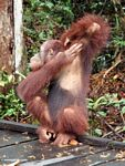 Borneo Orang-utan scratching armpit (Kalimantan, Borneo - Indonesian Borneo)