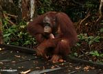 Rehabilitated orangutan sitting on boardwalk (Kalimantan, Borneo - Indonesian Borneo)