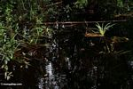 Blackwater swamp in Borneo (Kalimantan, Borneo - Indonesian Borneo) -- kali9216