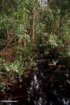 Blackwater swamp in Borneo (Kalimantan, Borneo - Indonesian Borneo) -- kali9217