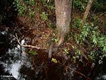 Blackwater swamp in Borneo (Kalimantan, Borneo - Indonesian Borneo) -- kali9218