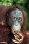 Rehabilitated orangutan thinking (Kalimantan, Borneo - Indonesian Borneo)
