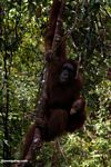 Rehabilitated mother and baby orangutans in tree at Camp Leaky (Kalimantan, Borneo - Indonesian Borneo)