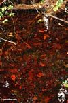 Blackwater swamp in Borneo (Kalimantan, Borneo - Indonesian Borneo) -- kali9236