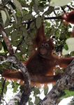 Baby orangutan playing in tree (Kalimantan, Borneo - Indonesian Borneo)