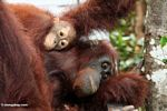 Mother and young oragutans (Kalimantan, Borneo - Indonesian Borneo)