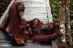 Family of orang-utans on boardwalk (Kalimantan, Borneo - Indonesian Borneo)