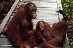 Family of orang-utans on boardwalk at Camp Leaky Rehabilitation Center (Kalimantan, Borneo - Indonesian Borneo)