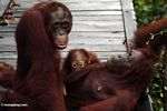 Family of orangutans on boardwalk (Kalimantan, Borneo - Indonesian Borneo)
