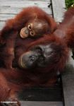 Mother and baby orangutans lying on boardwalk at Camp Leaky (Kalimantan, Borneo - Indonesian Borneo)