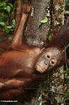 Young orang (Kalimantan, Borneo - Indonesian Borneo)