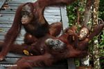 Family of orangs laying on boardwalk (Kalimantan, Borneo - Indonesian Borneo)