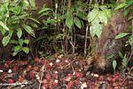 Bornean Bearded Pig (Sus barbatus) consuming rambutan fruit (Kalimantan, Borneo - Indonesian Borneo)