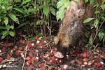 Bornean Bearded Pig (Sus barbatus) eating rambutan fruit (Kalimantan, Borneo - Indonesian Borneo)