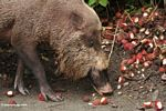 The Borneo Bearded Pig (Sus barbatus) eating rambutan fruit (Kalimantan, Borneo - Indonesian Borneo)