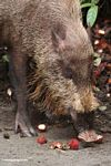 The Bearded Pig of Borneo, eating rambutan fruit (Kalimantan, Borneo - Indonesian Borneo)