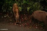Bearded pigs (Sus barbatus) feeding on rambutan (Nephelium lappaceum) (Kalimantan, Borneo - Indonesian Borneo)