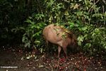 Sus barbatus (bearded pig) feeding on fallen Nephelium lappaceum (rambutan) fruit (Kalimantan, Borneo - Indonesian Borneo)