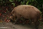 The Bearded Pig of Borneo feeding on fallen fruit (Kalimantan, Borneo - Indonesian Borneo)