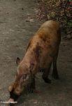 The Bearded Pig of Borneo (Kalimantan, Borneo - Indonesian Borneo)