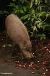 The Bearded Pig feeding on rambutan (Nephelium lappaceum) (Kalimantan, Borneo - Indonesian Borneo)