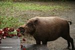 Bornean bearded pig feeding on rambutan fruit left on camp porch (Kalimantan, Borneo - Indonesian Borneo)