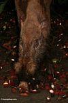 Borneo bearded pig (Sus barbatus) feeding on rambutan fruit (Kalimantan, Borneo - Indonesian Borneo)