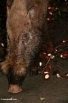 Borneo bearded pig feeding on rambutan (Kalimantan, Borneo - Indonesian Borneo)