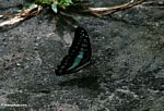 Blue and black butterfly on ground with wings closed (Kalimantan, Borneo - Indonesian Borneo)