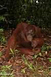 Adult orangutan in vegetation (Kalimantan, Borneo - Indonesian Borneo)