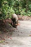 Borneo bearded pig (Sus barbatus) feeding on fallen rambutan fruit (Kalimantan, Borneo - Indonesian Borneo)