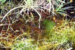 Blackwater swamp algae (Kalimantan, Borneo - Indonesian Borneo) -- kali9355