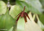 Grasshawk (Neurothemis fluctuans) (Kalimantan, Borneo - Indonesian Borneo)